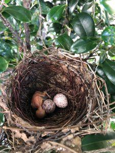 はなまる保育園の垣根に巣を作っていたひよどりが孵ってました。